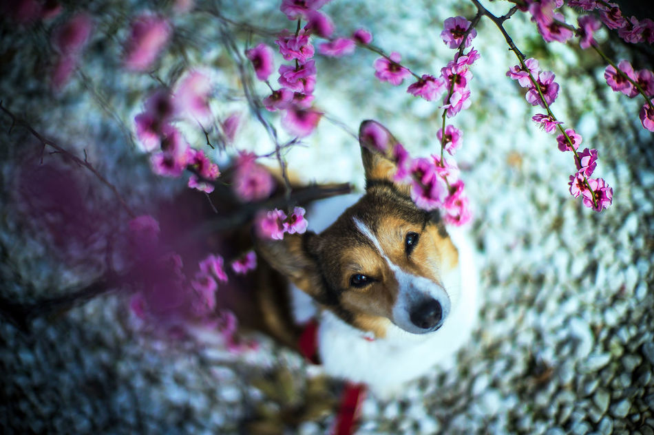 Tidings and Comfort are Joy Dog Corgi Welsh Corgi Pochiko Umr Umr Tree Blossom Blossoming  LeicaM9 Noctilux