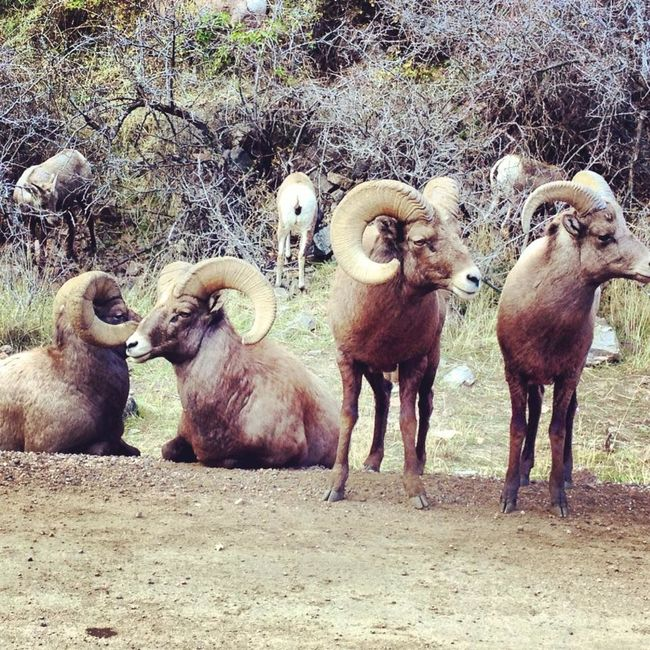 stumbled upon a family of big horn sheep on the trail Animal Family Beauty In Nature Big Horn Sheep Deer Creek Canyon Deer Creek Reservoir Denver Hike Denver,CO Landscape Livestock Mammal Medium Group Of Animals No People Outdoors Young Animal