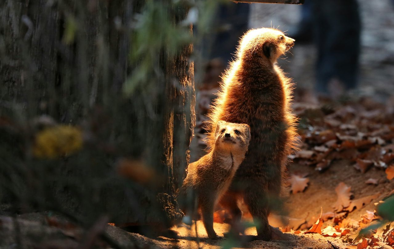 I got your back! Animal No People Nature Autumn Photography Fall Colors Autumn Colors Canon Canon 5d Mark Lll Close-up Mongoose Meerkat Outdoors Animal Themes Spotlight