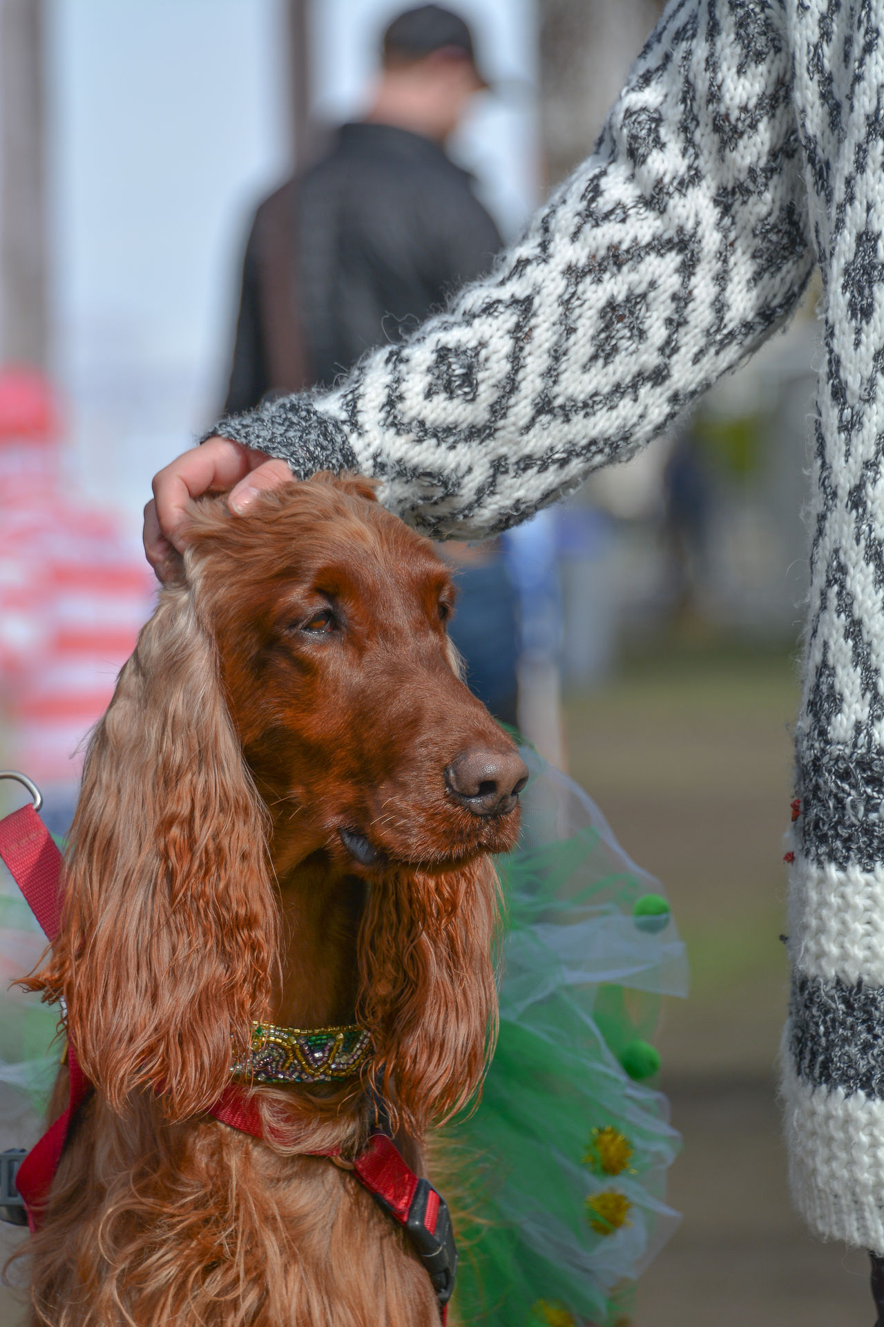 Adult Animal Animal Body Part Animal Themes Close-up Day Dog Domestic Animals Irish Setter Mammal One Animal One Man Only One Person Outdoors People Pets St Patrick's Day