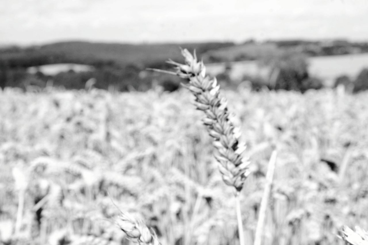 nature, plant, field, growth, beauty in nature, no people, tranquility, outdoors, close-up, day