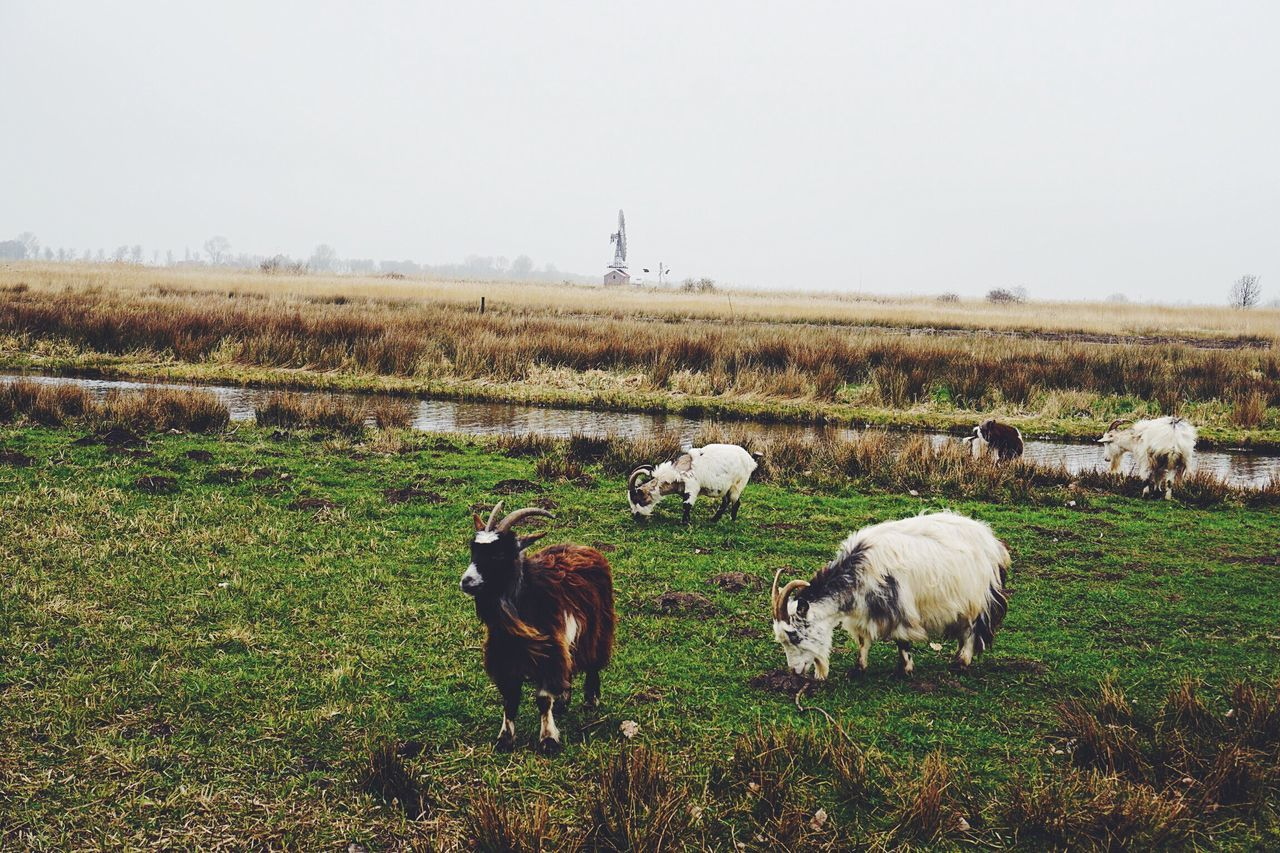 Grass Animal Themes Domestic Animals Field Livestock Mammal Nature Grazing Landscape No People Day Outdoors Large Group Of Animals Clear Sky Tranquility Beauty In Nature Sky Rural Scene Sheep Scenics Real Photography Beauty In Nature Nature Amsterdam Travel Destinations