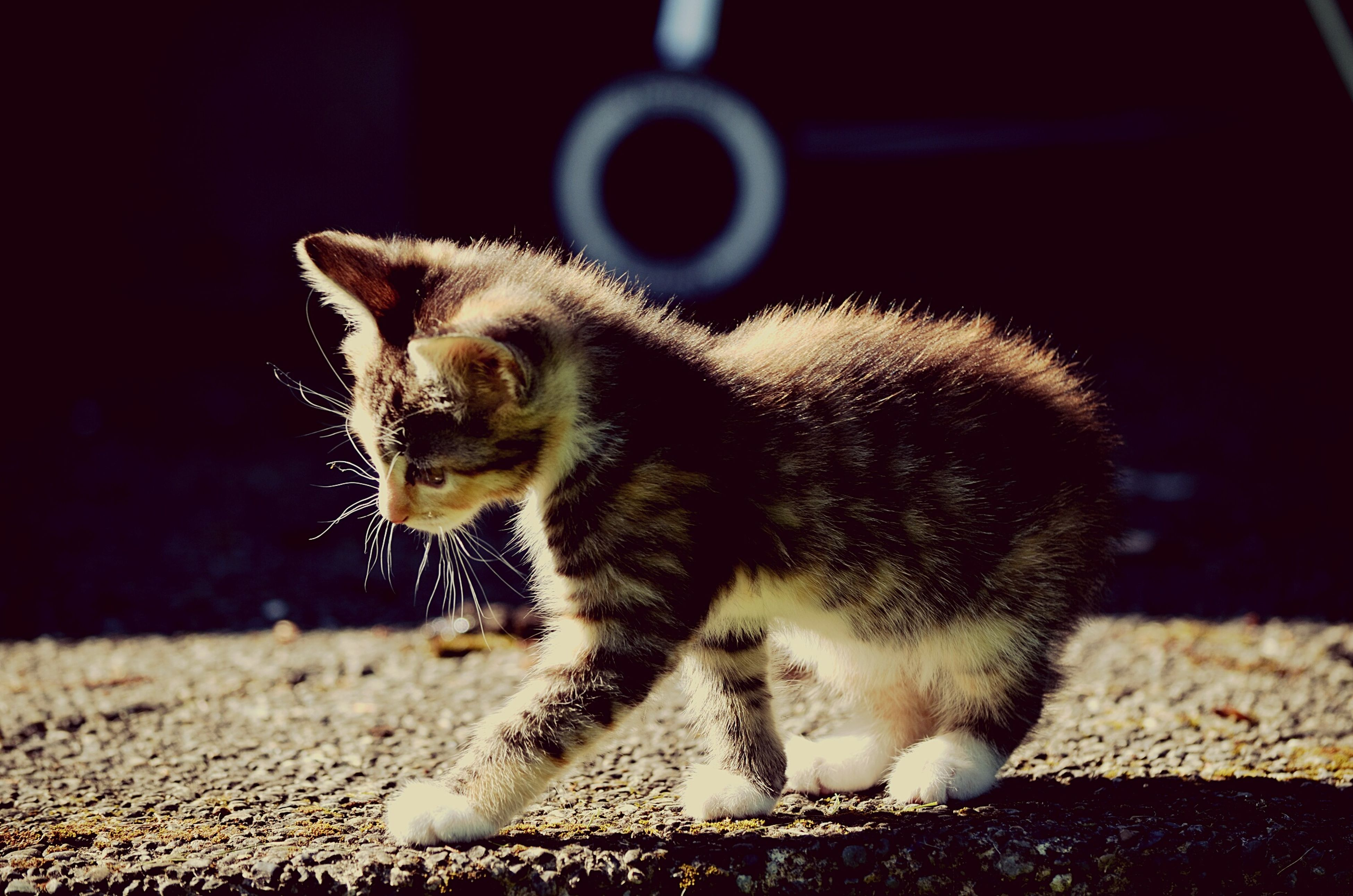 one animal, animal themes, pets, domestic animals, mammal, close-up, focus on foreground, domestic cat, street, animal head, cat, selective focus, whisker, feline, no people, full length, outdoors, side view, front view, day