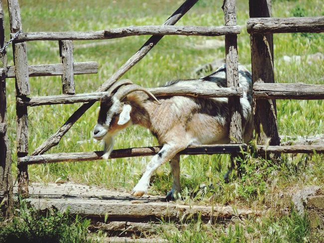 Goat Goat Life Fencepost Fence SPAIN Spanish Goats Looking For Freedom Looking Forward Looking For Trouble Animal Photography Animal_collection Nice Day Sunny Day Do It Yourself Do It Better Wooden Fence Caged Freedom Cage Being Adventurous
