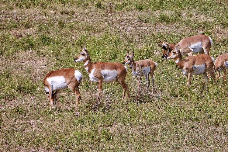 Pronghorns near Dubois in the USA. DuBois Females Grass Shrubs USA Wyoming Animal Themes Animal Wildlife Animals In The Wild Day Field Large Group Of Animals Mammal Nature No People Outdoors Pronghorns Standing Wildlife