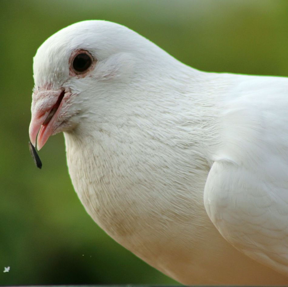 Beautiful stock photos of dove, Animal Themes, Bird, Close-Up, Day