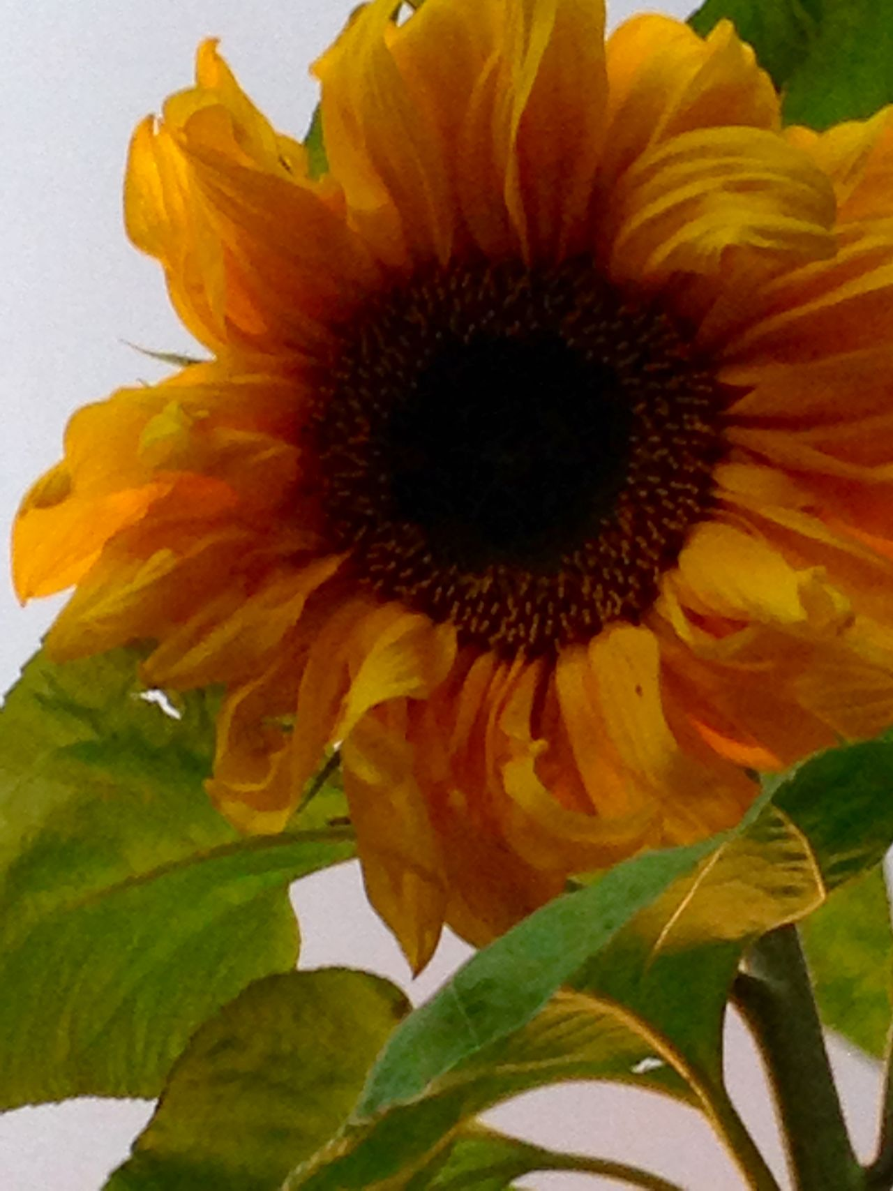 Beauty In Nature Blooming Close-up Day Flower Flower Head Fragility Freshness Growth Nature No People Outdoors Petal Plant Pollen Seeds Flower Springtime Sunflower Yellow Flower