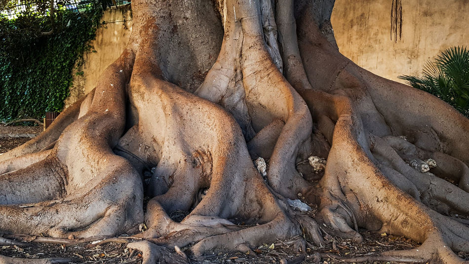 Beauty In Nature Centenary Tree Curves Day Ficus Light And Shadow Nature Nature Nature Photography Nature_collection Naturelovers No People Outdoors Palma De Mallorca Roots Roots Of Tree SPAIN Travel Destinations Tree Tree Tree Of Life Tree Trunk Tree Trunk Trees Art Is Everywhere