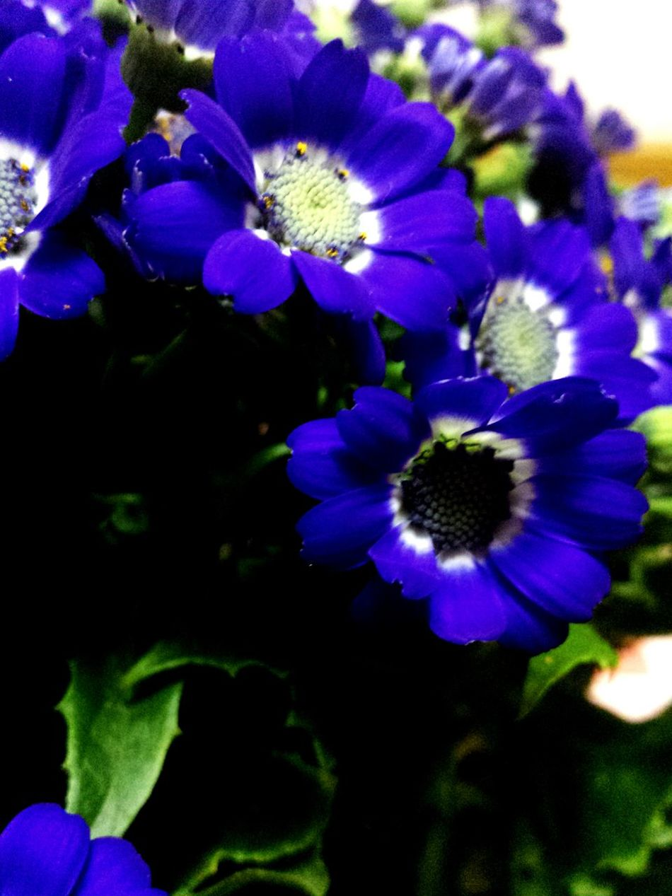 Flower Photography Flowers, Nature And Beauty Flowers,Plants & Garden Flowerporn Flowers Flower The Flowers Series EyeEm Nature Lover Popular Photos Taking Photos Macro Photography Floral Perfection Flower Collection Macro Beauty Macro Macro_flower Macrophotography Macro_collection Cineraria