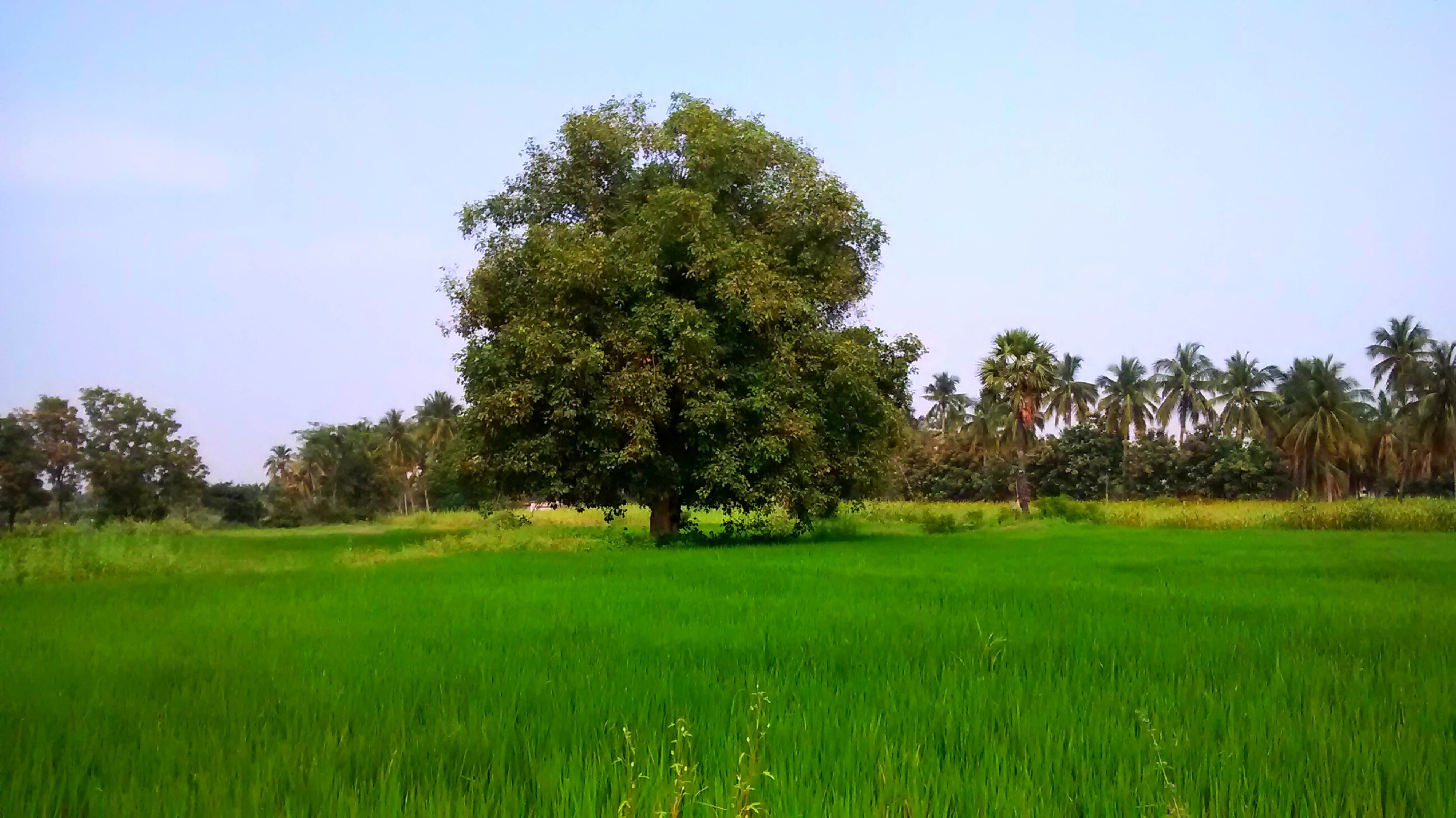 tree, grass, green color, field, tranquility, tranquil scene, growth, landscape, grassy, clear sky, beauty in nature, scenics, nature, green, lush foliage, sky, non-urban scene, rural scene, day, idyllic