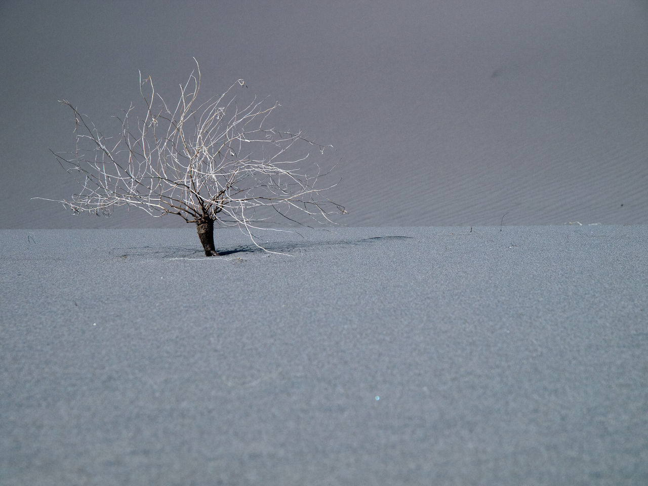 Bare Tree Beauty In Nature Branch Cold Temperature Day Dry Weed Isolation Landscape Lonely Plant Nature No People Outdoors Sand Snow Tough Life Toughness Tranquility Tree Weeds Winter