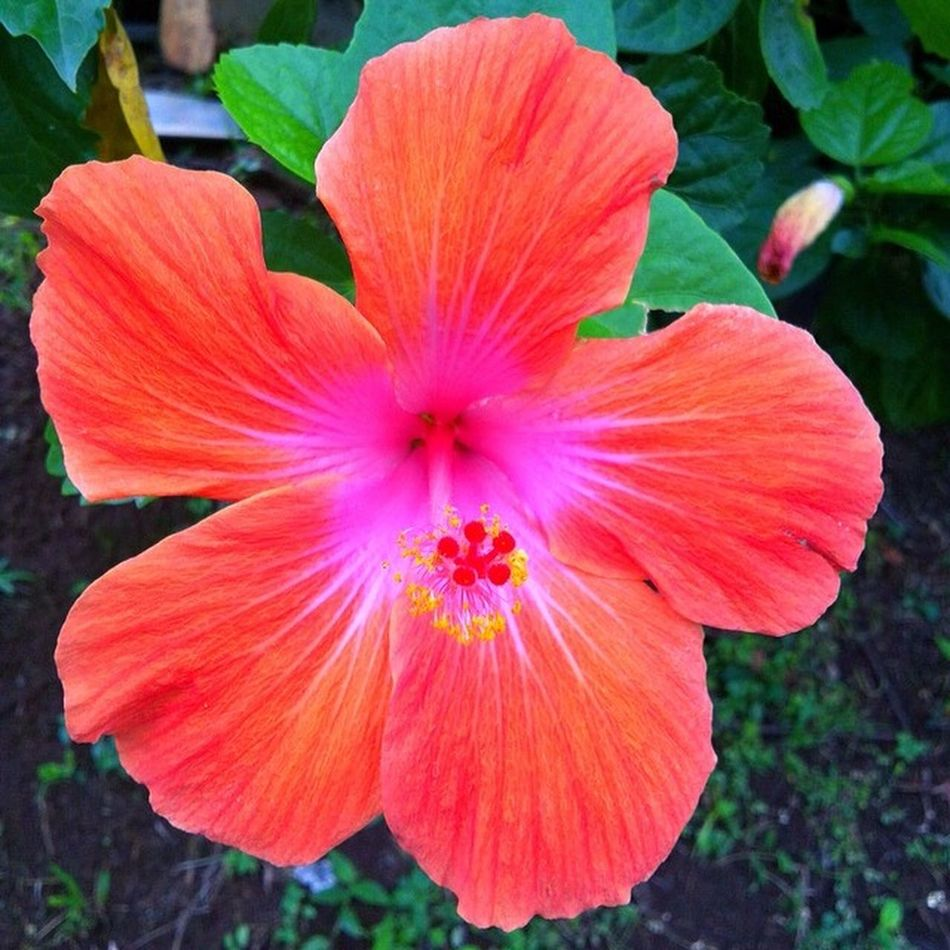Wu_caribbean Westindies_colors Nature Naturewalks Grenada Greenz Ilivewhereyouvacation Instagram_473 Islandlife Instagram IPhone Hibiscus Flower