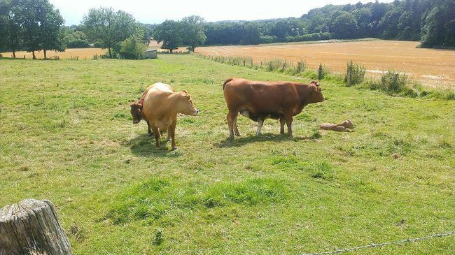 Nature Lovers ♡♡♡ Outdoorshot Beautiful Landscape Green Color Cows Grazing Münsterland I Love You ❤
