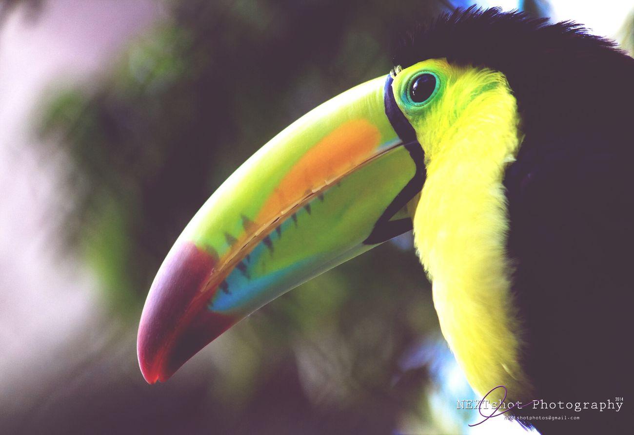 Hey Mr. Toucan. Bird Photography Birdwatching NEXTshotPhotos Canon