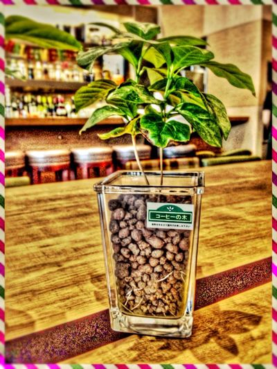 Coffee tree??☻My favorite drink is coffee!!! In PRONTO In Japan