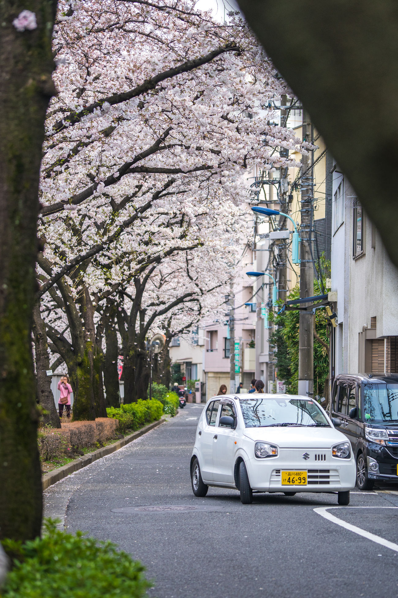 @ Waseda River in blooming Architecture Branch Building Exterior Built Structure Car Cherry Blossom Cherry Blossoms City Day Fragility Japan Japan Photography Japanese  Land Vehicle Mode Of Transport Nature No People Outdoors Police Force River Road Sakura Transportation Tree Waseda