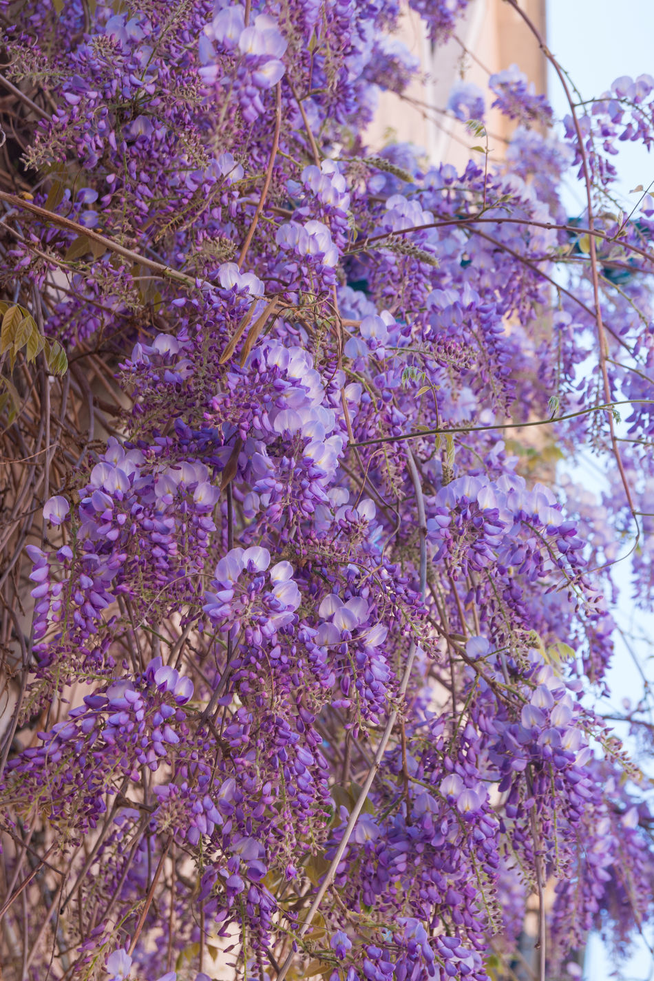 Beauty In Nature Blossom Branch Close-up Day Flower Fragility Freshness Growth Hanging Italy Low Angle View Nature No People Outdoors Purple Scented Springtime Tree Venice, Italy Wisteria