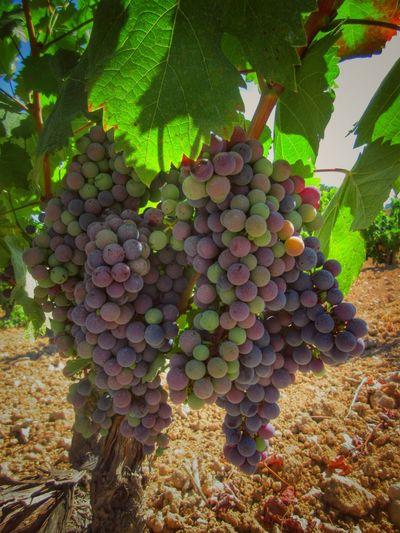 Fontanars Dels Alforins País De L'olivera Camp Campo Vinya Viñedos Raim Uva Grape