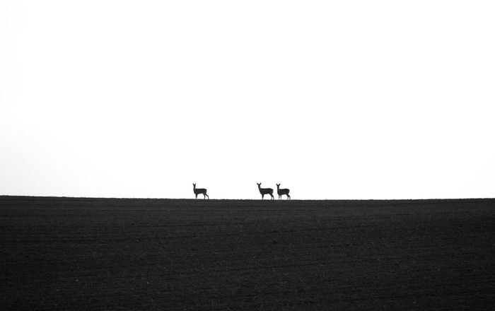 Clear Sky Outdoors Day Sky Agriculture Nature Minimalism Minimalistic Deer Deers Animals Blackandwhite Black & White Black And White Blackandwhite Photography Black And White Photography Blackandwhitephotography Blackwhite Black&white Black And White Collection  Nature_collection Nature Photography Nafure Lover Naturelovers Natural Beauty