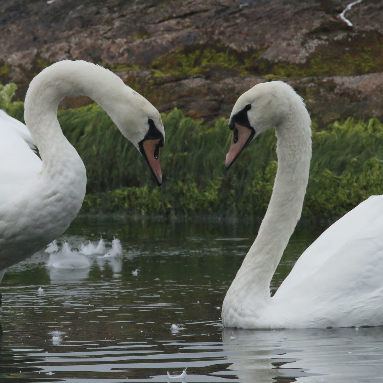 Animal Themes Animals In The Wild Avian Beak Bird Feathers Heart No People Outdoors Sea Swan Swancouple Swimming Togetherness Two Animals Water Water Bird Wildlife
