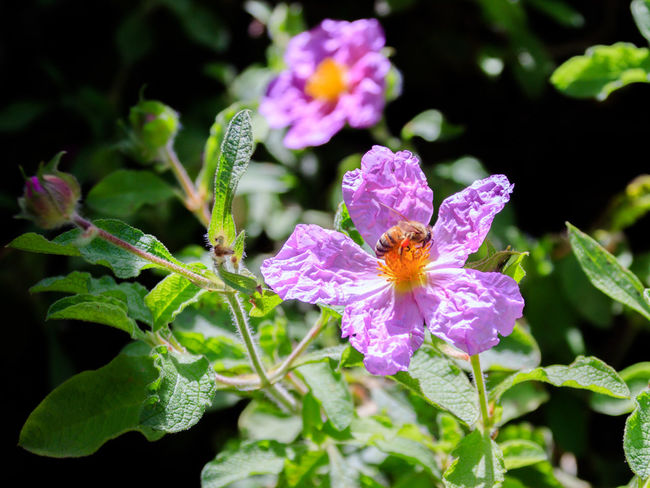 Bee sitting on a Cistus creticus. North of Israel, near Montfort Castle Beauty In Nature Bloom Blooming Blooming Flower Blossom Botanical Corolla Creticus Day Florettes Flower Foliage Green Color Israel Leaf Monfort Nature No People North Outdoors Park Petal Plants SessileCreak Wildflower