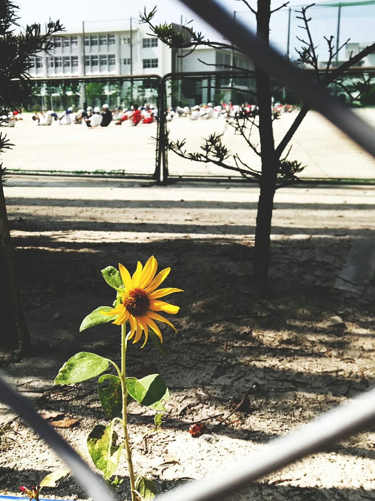 頑張れ高校球児 高校野球 Hot Day School スマホ頑張れ Sunflower Flower フリースタイルで楽しむ写真おばちゃんは熱中症が心配。