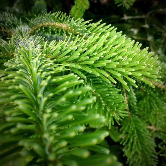 Walking by the pines Green Color Pinaceae Close-up Plant Outdoors Beauty In Nature Pine Tree EyeEmNewHere