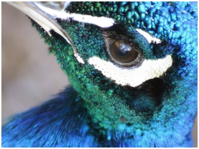Peacock Close-up Peacock Blue Feathers Bird Bird Photography Beauty In Nature Natural Beauty Nature Nature_collection Nature Photography Eyeemphotography Eye4photography  EyeEm EyeEm Gallery Eyemphotography EyeEm Nature Lover Blue Color Palette