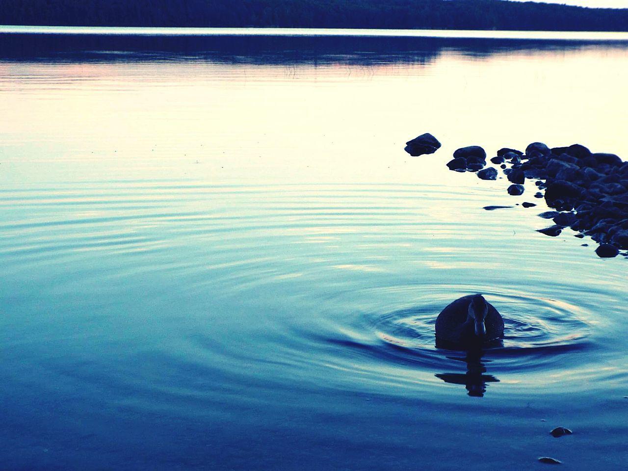 Duck Lake Water Algonquin Park Algonquinprovincialpark Wildlife Nature