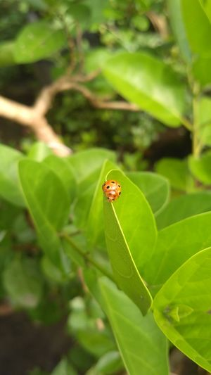 Golden bug in the premna Insect Small Animal Sentir Art