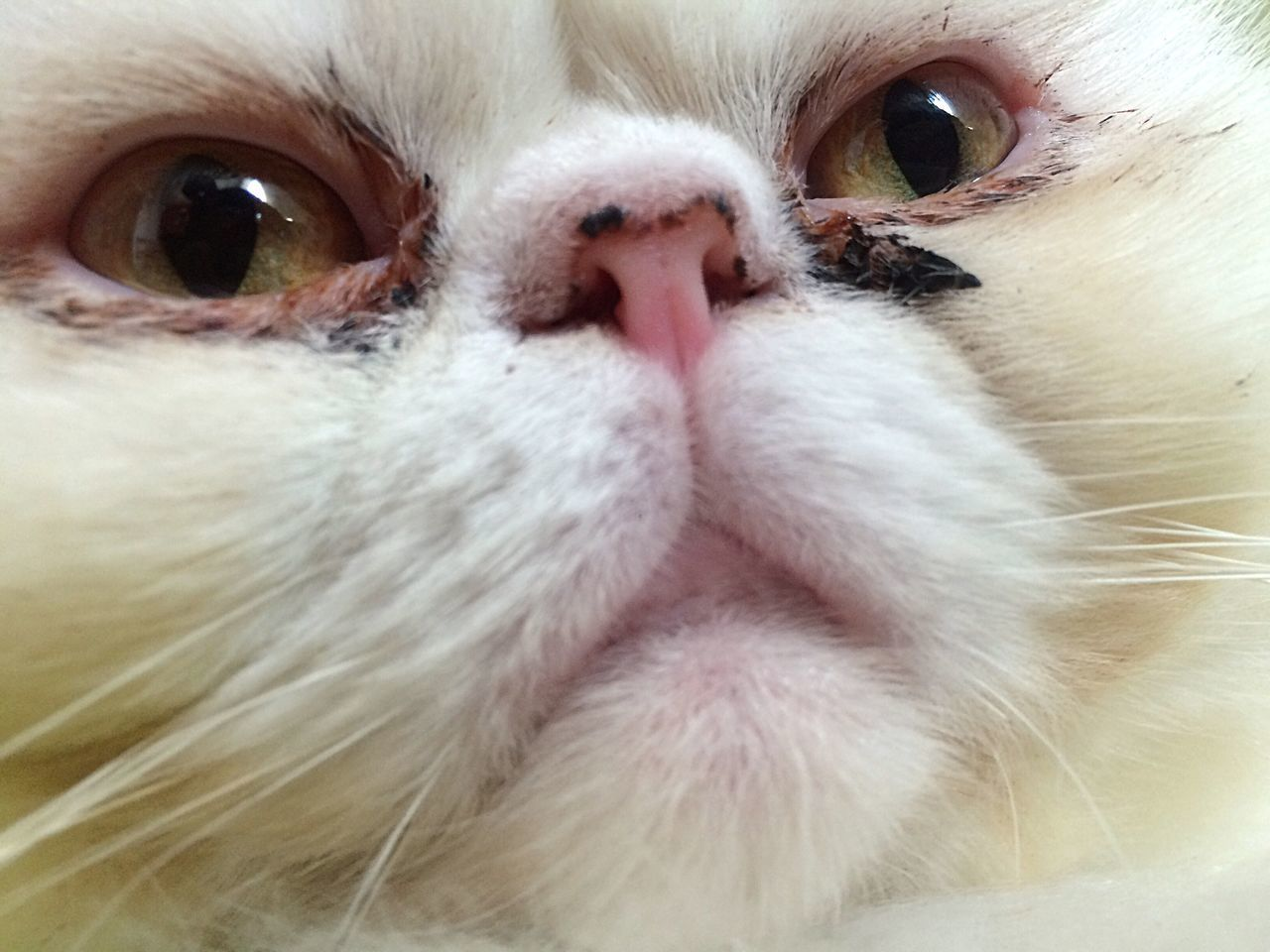domestic cat, feline, pets, animal themes, domestic animals, one animal, cat, mammal, whisker, no people, close-up, portrait, indoors, persian cat, day