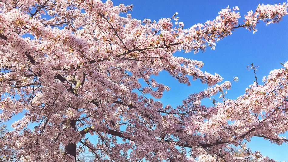 Spring Growth Tree Pink Pink And Blue Pink And Blue Sky