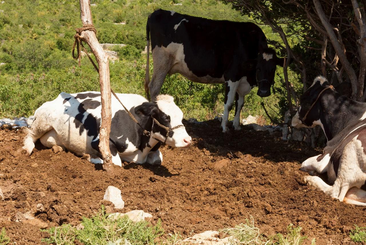 Cow Farm Animal Themes Beef Cattle Cow Domestic Animals Field Landscape Livestock Mammal Milk Nature Outdoors Spotted Turkey Uzuncaburç Young Animal