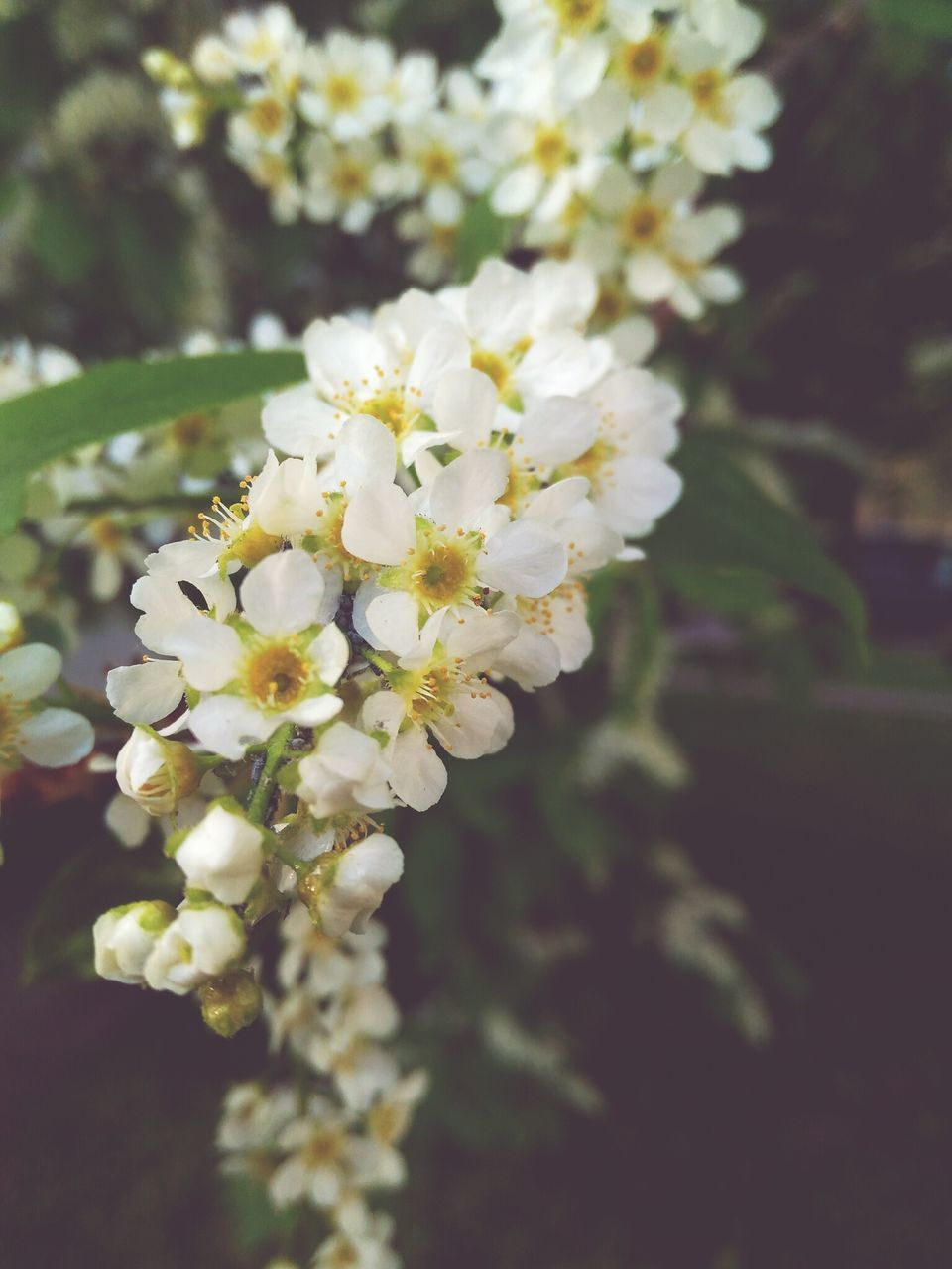 flower, fragility, blossom, white color, nature, beauty in nature, freshness, apple blossom, growth, botany, springtime, petal, tree, no people, close-up, day, outdoors, branch, blooming, flower head