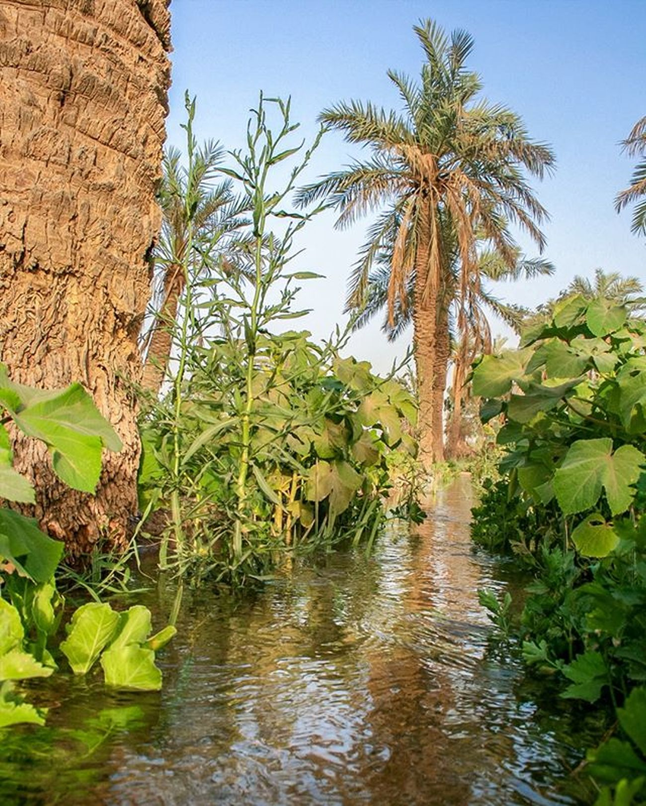 Canon 400d Canon400d Tree Irrigating Water Plants Palm Datepals Basra Iraq Shattalarab Green