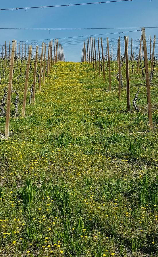 Abundance Beauty In Nature Growth Nature Scenics Tranquility Tranquil Scene No People In A Row Green Color Idyllic Outdoors Agriculture EyeEmNewHere Clear Sky Blossom Freshness Fragility Sunlight Spring Blooms Piedmont Italy Vineyard Langhe Flowerbed Green And Yellow Colour