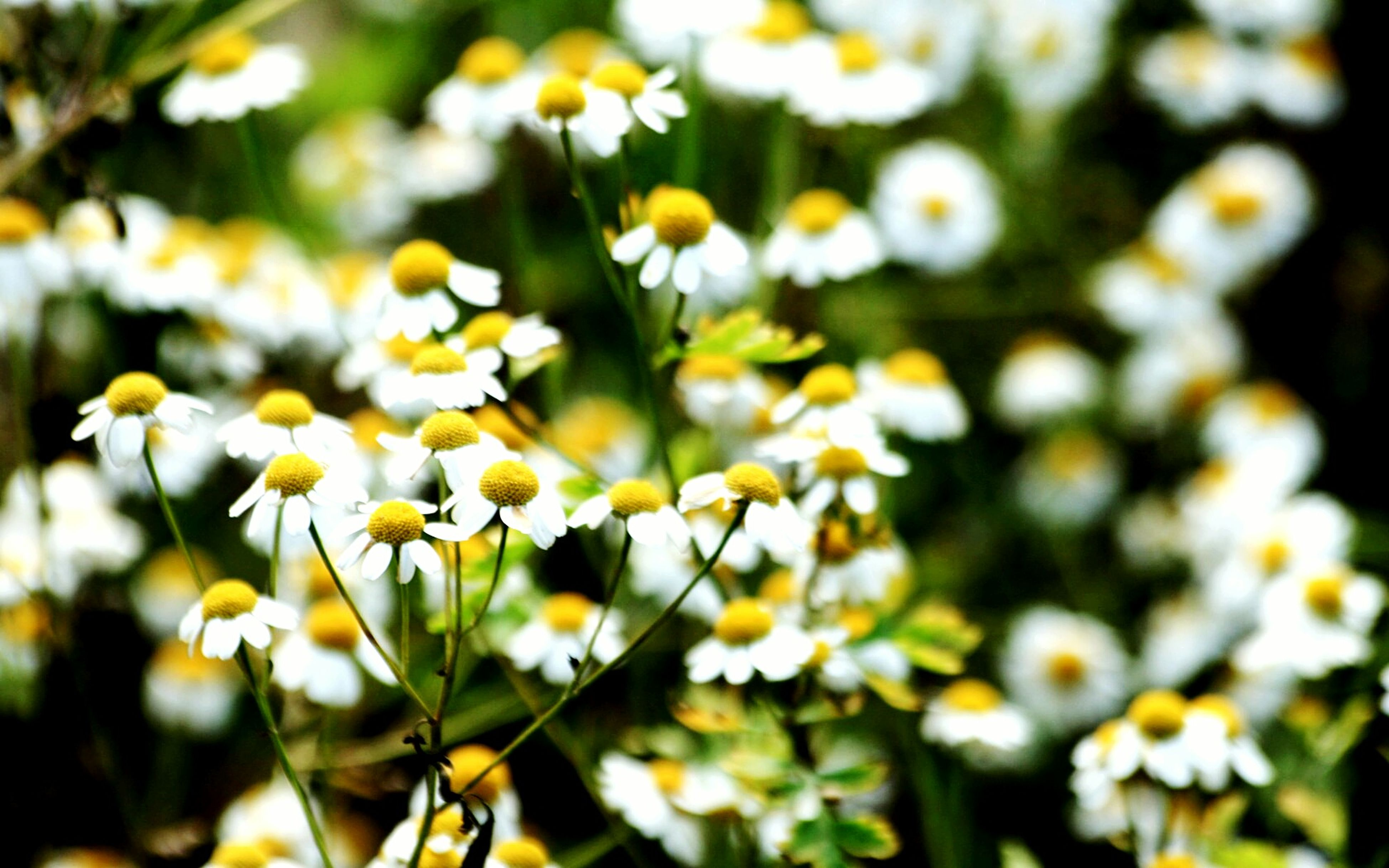flower, freshness, growth, fragility, beauty in nature, petal, yellow, nature, flower head, white color, close-up, blooming, focus on foreground, selective focus, plant, daisy, in bloom, field, outdoors, no people