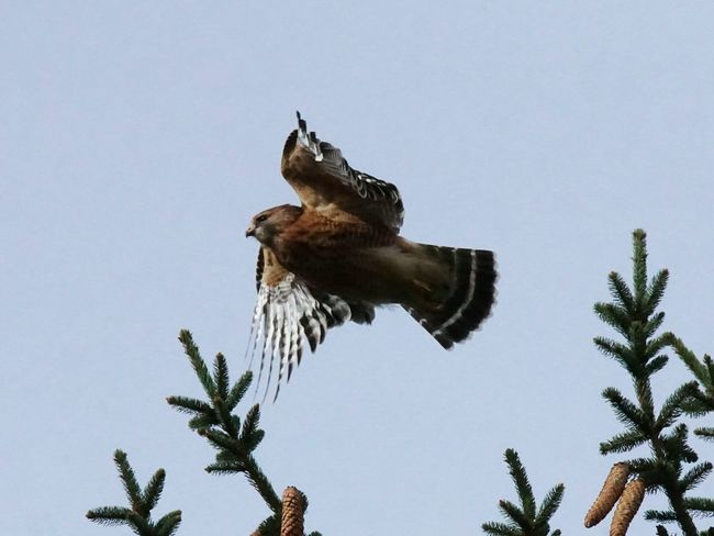 Red shouldered hawk taking off. Bird Flying Bird Of Prey One Animal Animal Wildlife Low Angle View Animals In The Wild No People Clear Sky Outdoors Day Sky Nature Red Shouldered Hawk Hawk