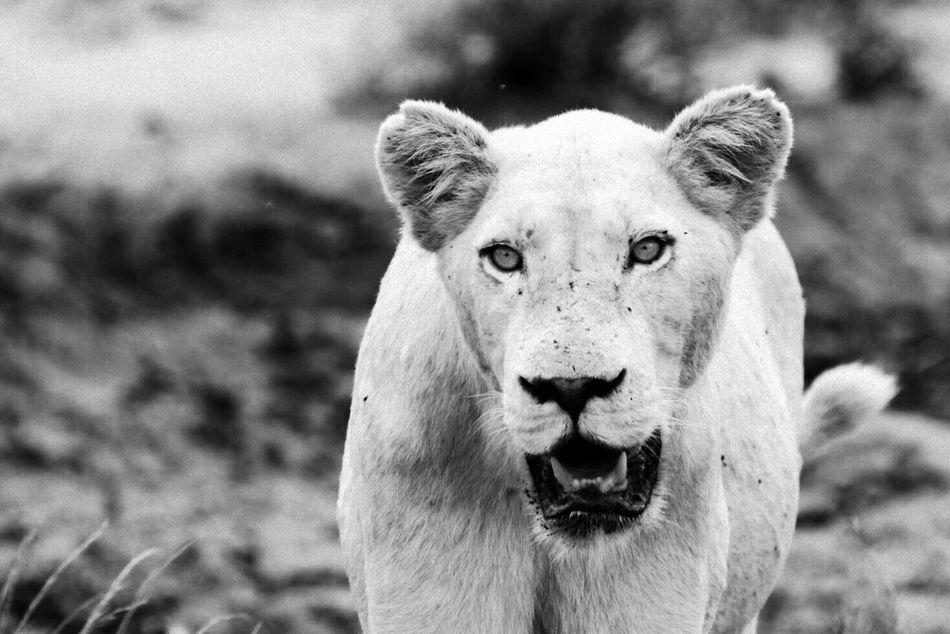 Beautiful stock photos of löwe, Animal Themes, Animal Wildlife, Animals In The Wild, Big Cat