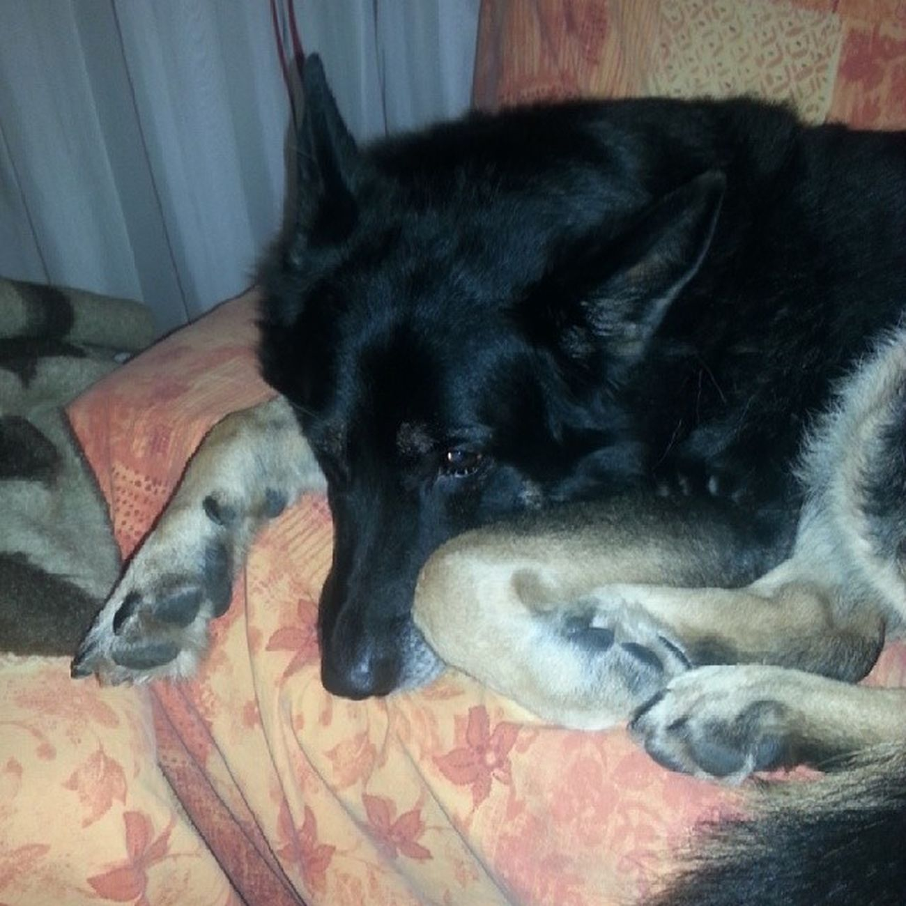 time to sleep. Dunja Germanshepherd Oldgirl