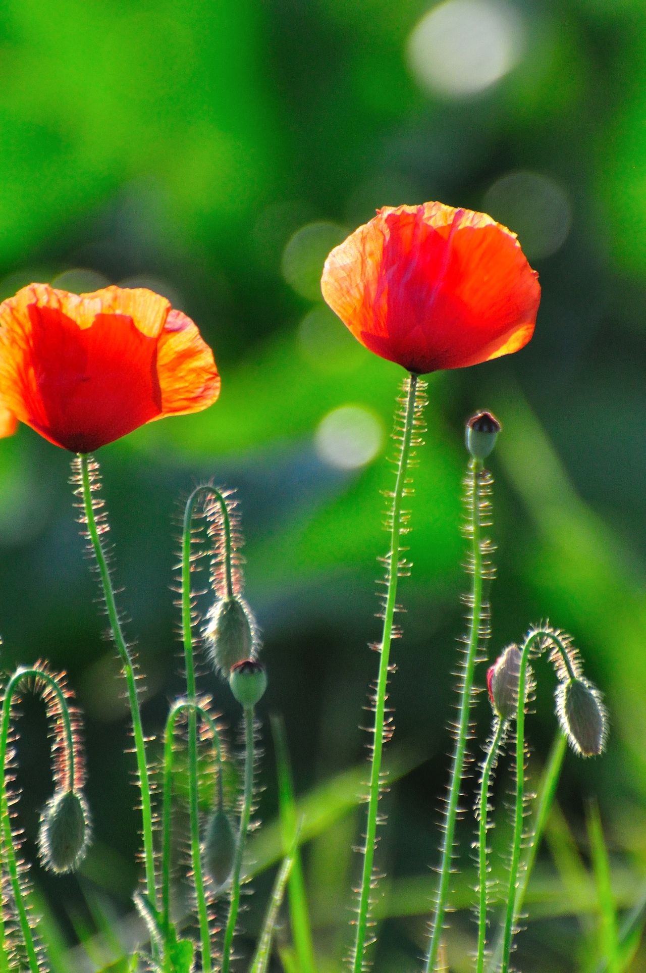 Backlight Beauty In Nature Close-up Day Detail Details Flower Flower Head Fragility Freshness Nature No People Outdoors Plant Poppy Flowers Relaxing