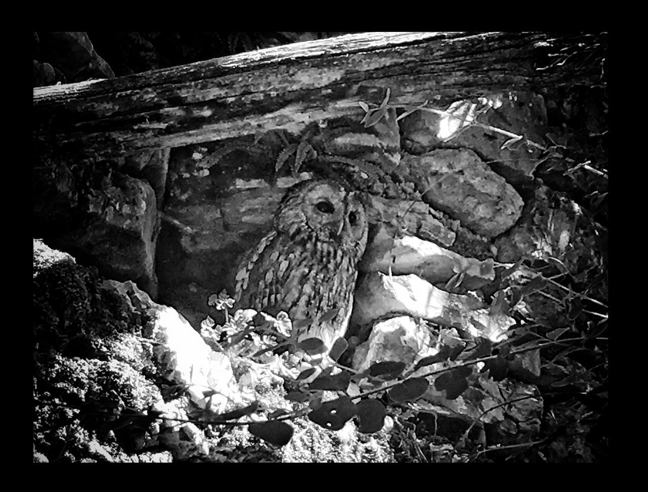No People Outdoors Nature One Animal Day Animals In The Wild Animal Themes Close-up Bird Bird Of Prey Owl Awesome_shots Nature Photography EyeEm Gallery Architecture_collection EyeEm Best Edits Photo Eye4photography  The Great Outdoors - 2017 EyeEm Awards EyeEm Best Shots EyeEmBestPics Photography Photographer Black & White Awesome The Great Outdoors - 2017 EyeEm Awards Live For The Story