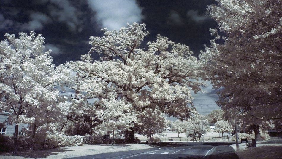Infrared Infrared Photography Trees Papworth Everard