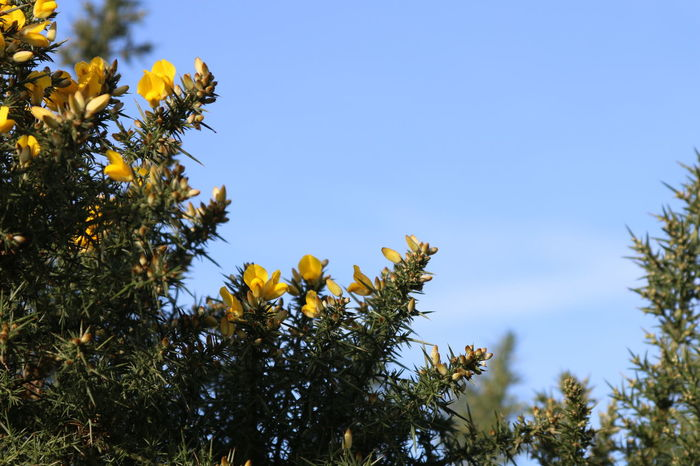 Beauty In Nature Blooming Blue Skies Flower Flowers Gorse Gorse Bush Growing Light And Shadow Light Clouds Nature No Animals Outdoors
