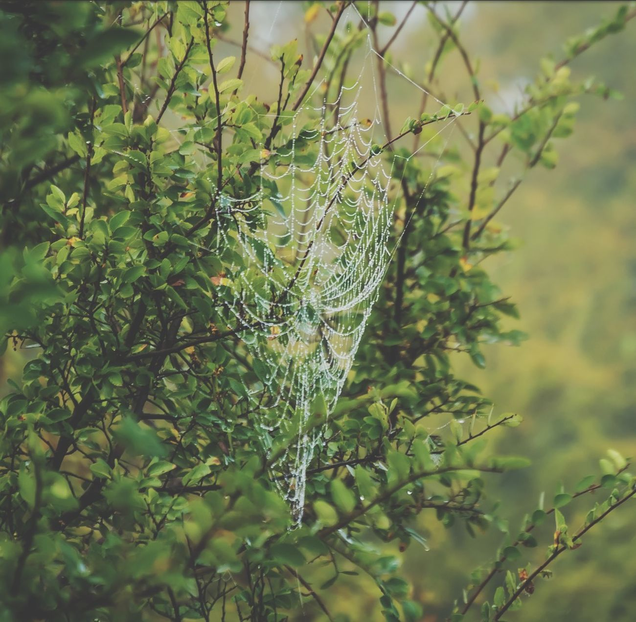 Through the very foggy morning another beauty was brought into clear sight. Incredible build! Spidersweb Nature Spider DSLR Photography First Eyeem Photo
