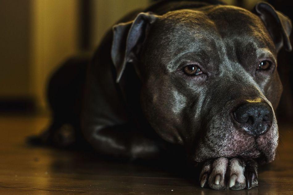 Beautiful stock photos of pitbull, Animal Themes, Close-Up, Dog, Domestic Animals