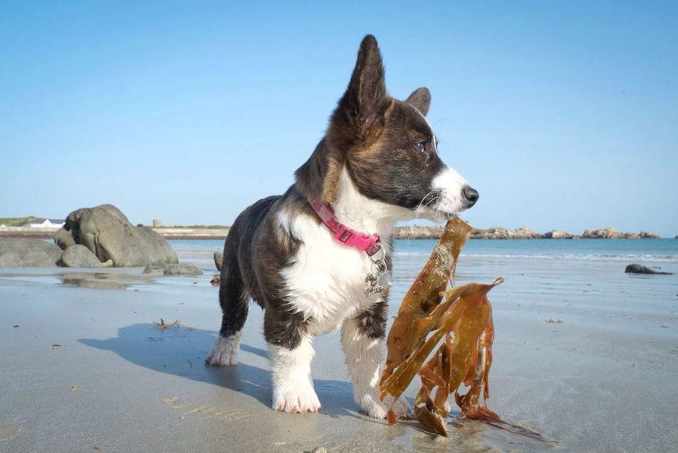 Beautiful stock photos of corgi, Animal, Animal Hunting, Animal Themes, Beach