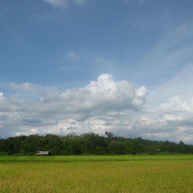 [ Menguning ] Sawah Ricefield Waykanan Lampung indonesia asia instanusantara blue sky