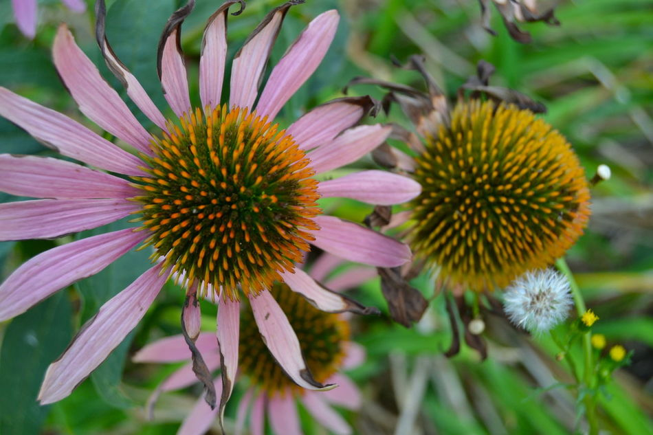 Beauty In Nature Bloom Blossom Botany Close-up Day Echinacea Purpurea Flower Flower Head Focus On Foreground Fragility Freshness Green Color Growth In Bloom Nature Petal Pink Plant Pollen Purple Season  Softness Springtime Vibrant Color