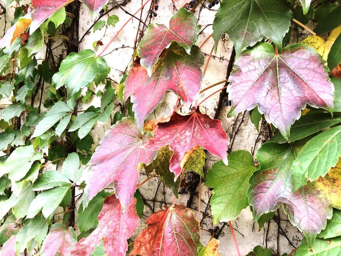 in early autumn🍃🍂 Leaf Early Autumn Nature Day Change Beauty In Nature No People Green Brown Wall Season  Changeofseason